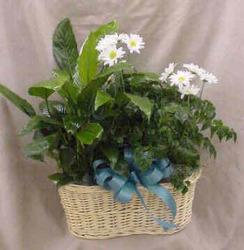 Double Basket of Green Plants with Fresh Daisies from Clark Flower and Gift Shop in Clark, SD
